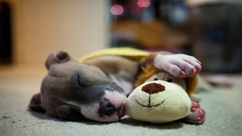 Спящий щеночек