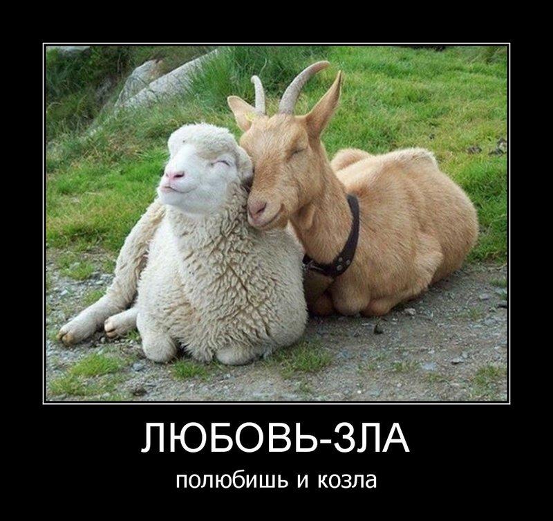 Овечка и козел