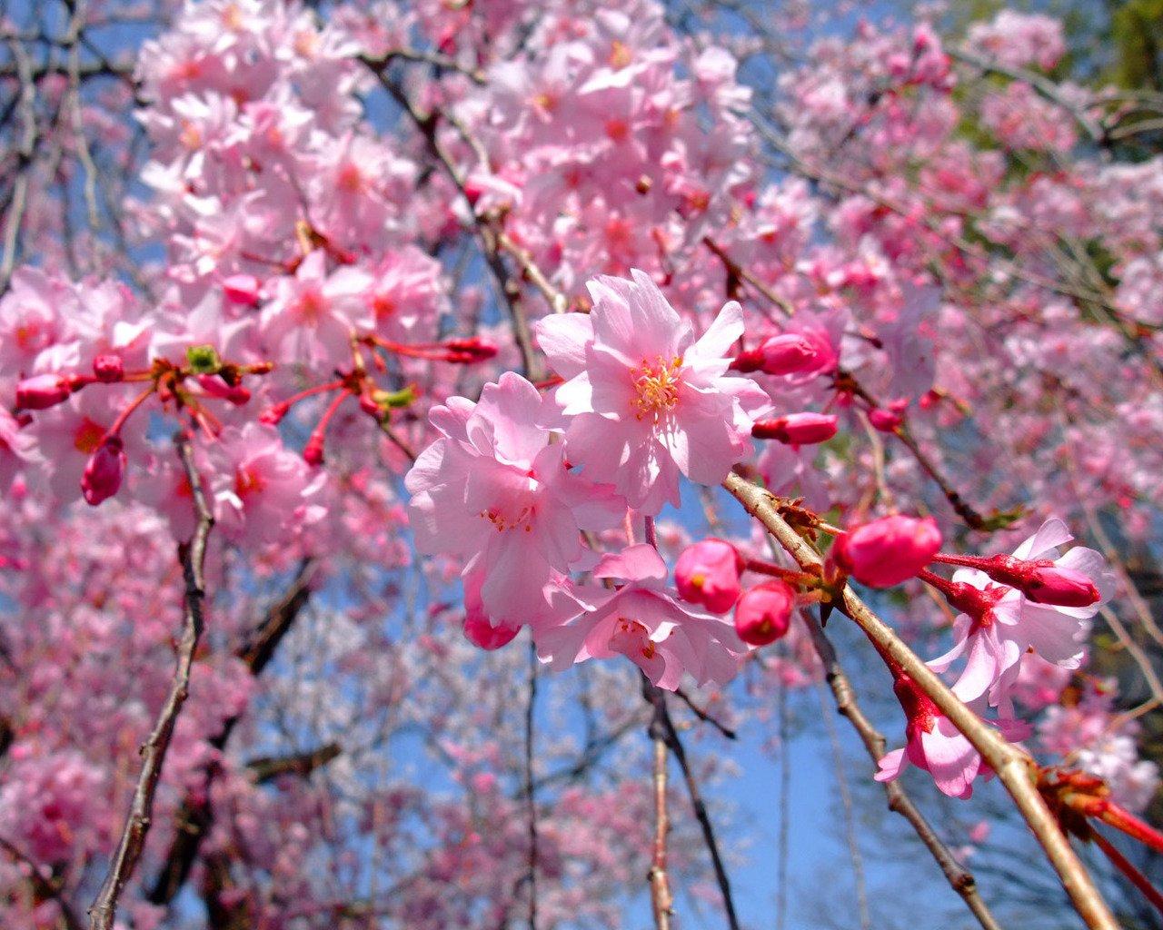 белые цветы на деревьях весной