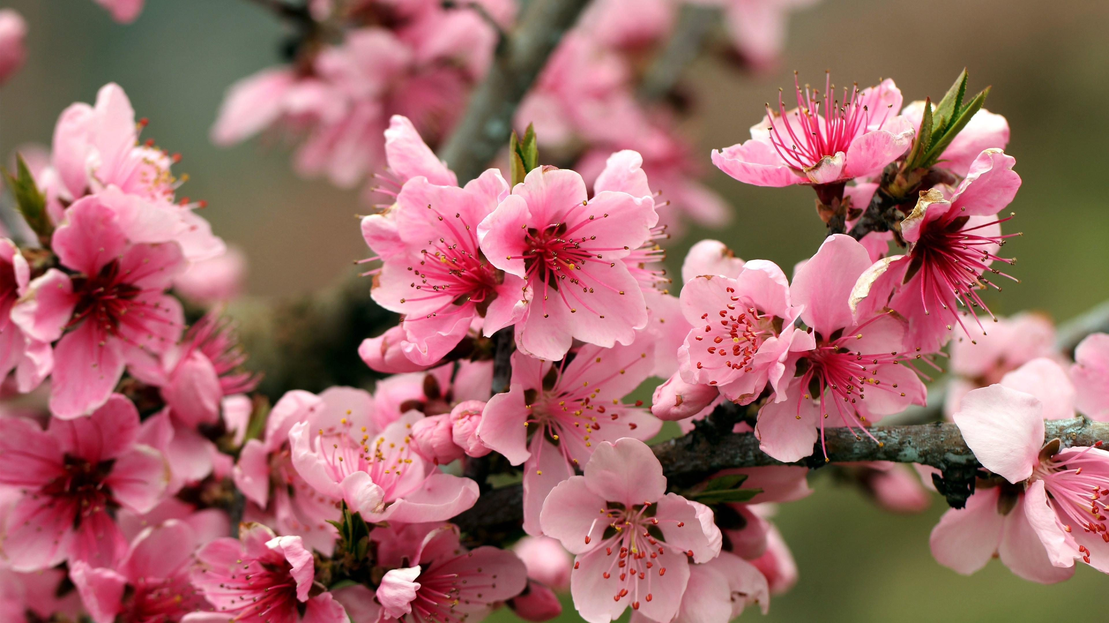 обои для рабочего стола цветущие яблони № 239684 бесплатно