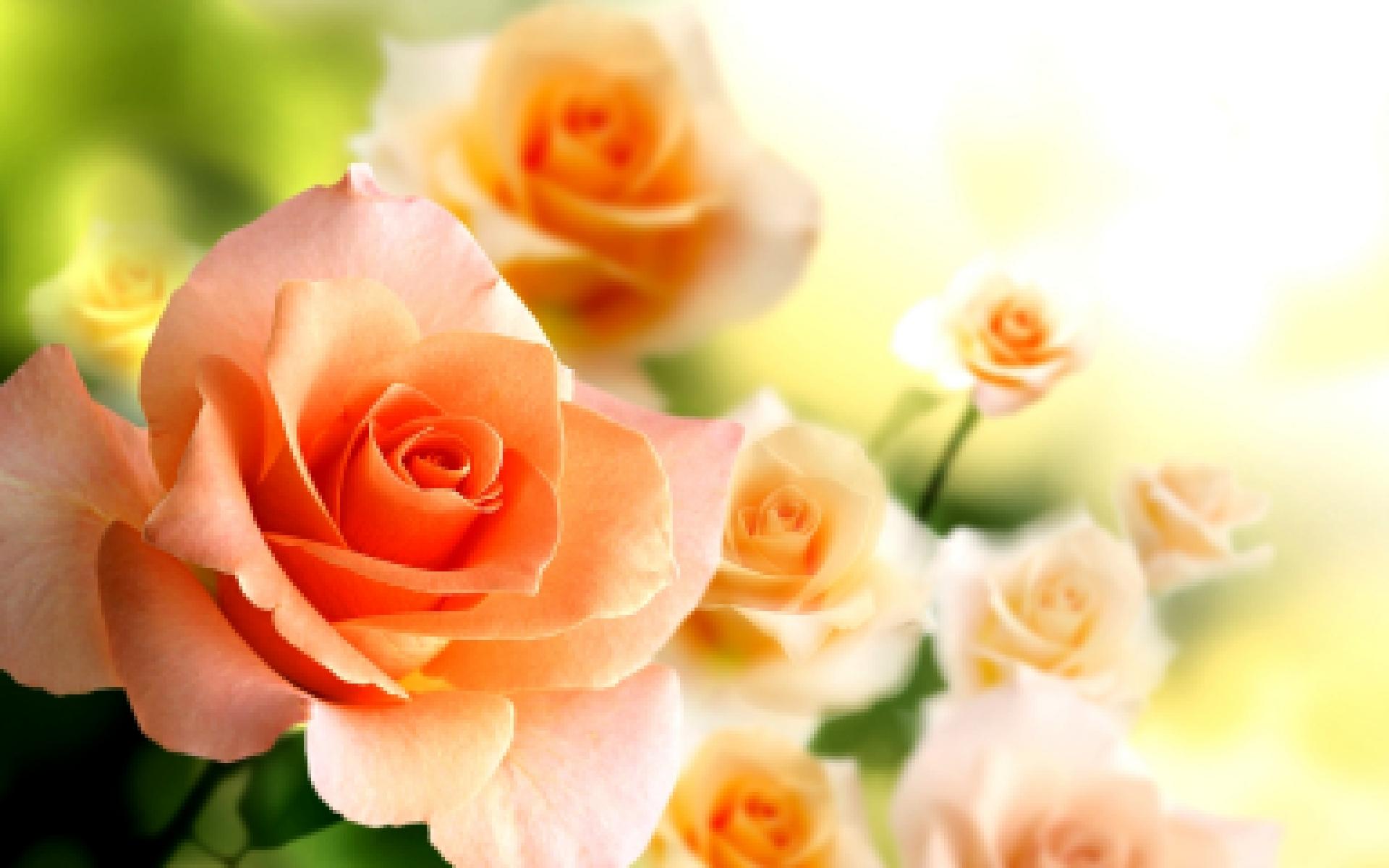 Цветы красивые розы на рабочий стол