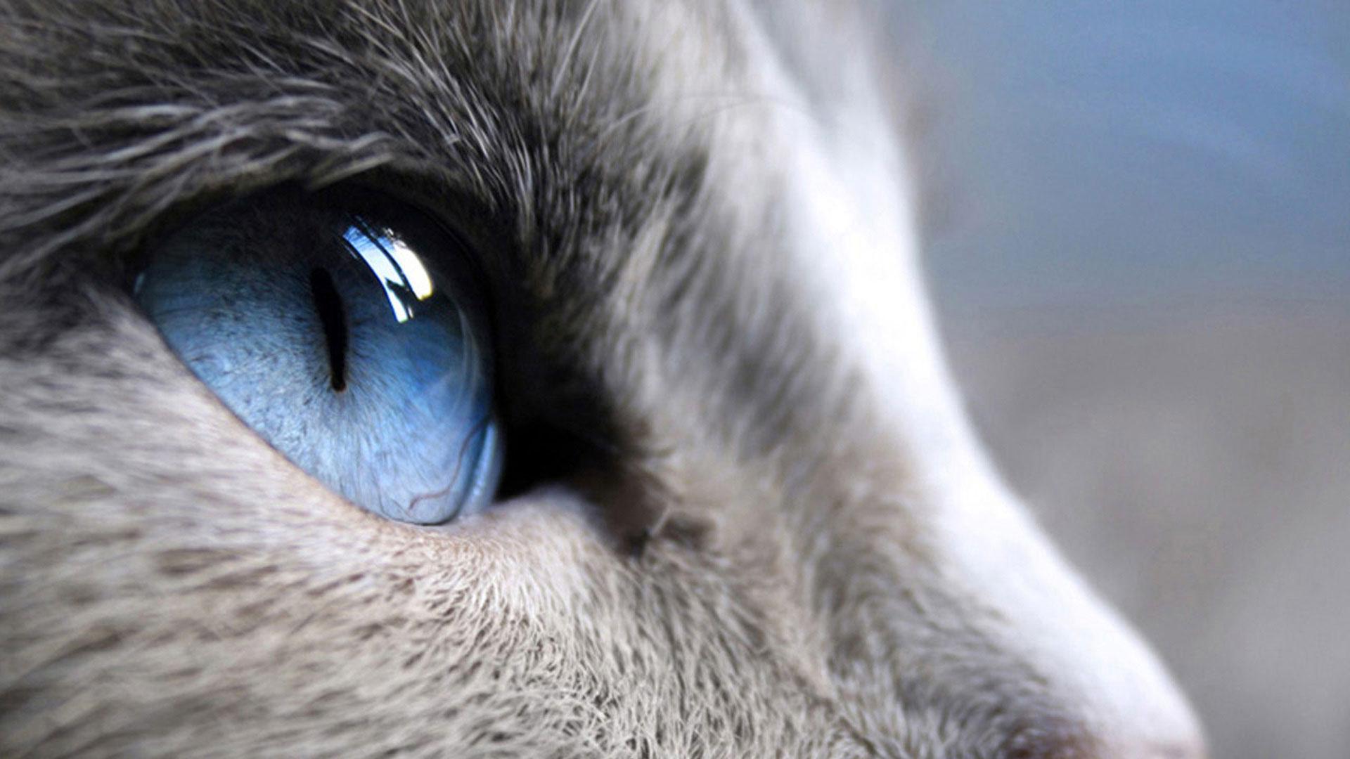 Белый кот разные глаза  № 2956491 без смс